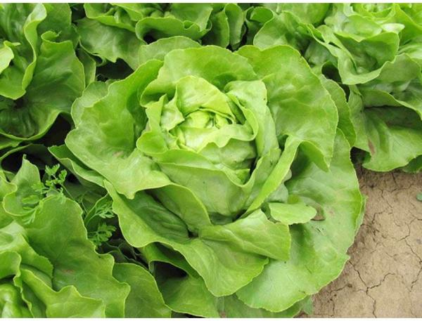 Salată LARUNA - 2500 semințe 0