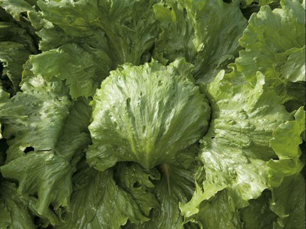 Salată SAULA - 5000 semințe drajate 0