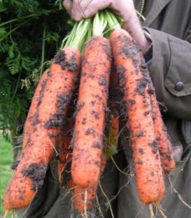 Semințe de morcovi Samson [0]
