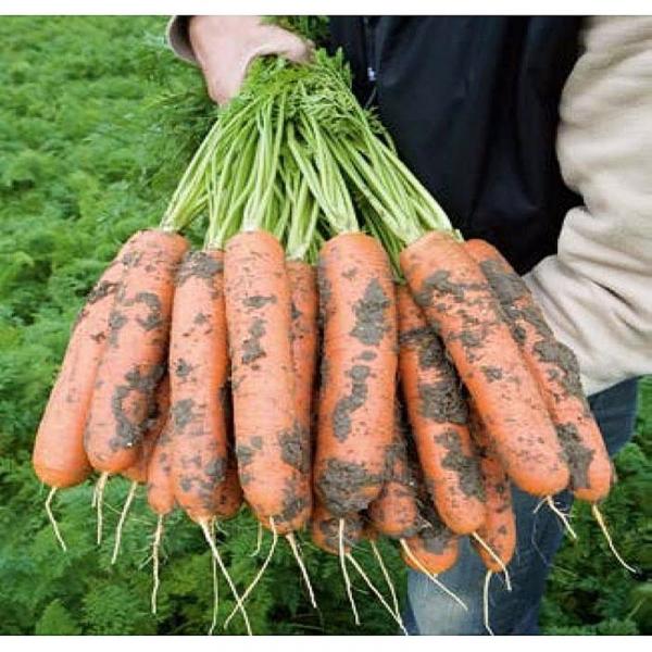 Semințe de morcovi Baltimore F1 0