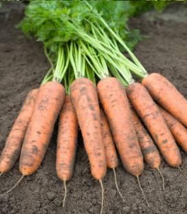 Semințe de morcovi  Belgrado F1 0