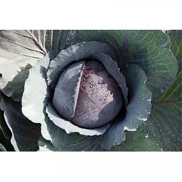 Semințe de varză roșie Ranchero F1 - 1.000 semințe 0