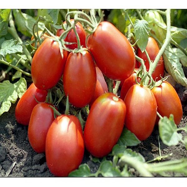 seminte-de-tomate-rio-grande 0