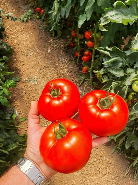 seminte-de-tomate-zadurella-f1 0