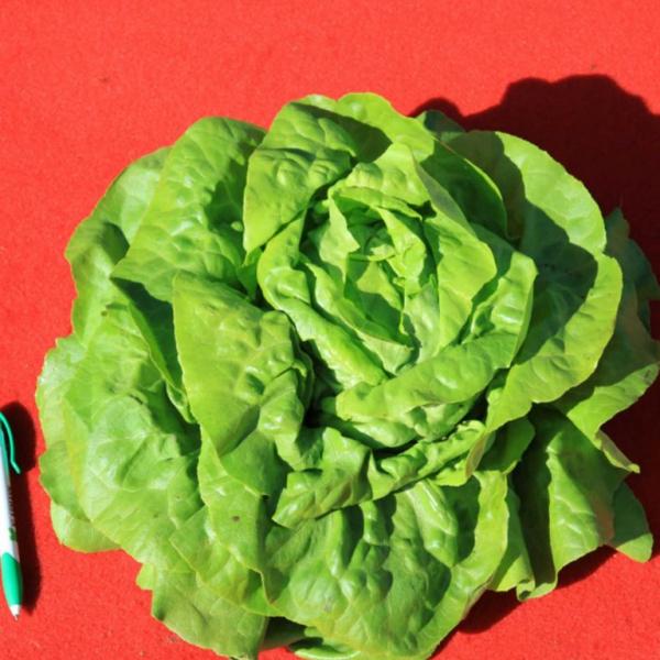 Semințe de salată Sotalis - Bejo (5000 semințe) [0]