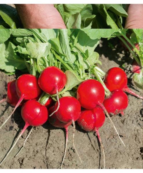 Semințe de ridichi de lună Rochas F1 - 5.000 semințe 1