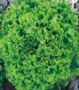 Semințe de salată Model - 5000 semințe [0]