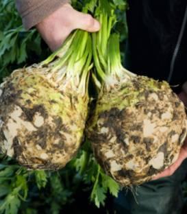 Țelina Elena F1-10.000 semințe 0
