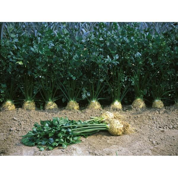 Țelina Brilliant F1-10.000 semințe drajate si pregerminate 0