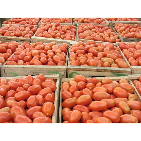 Seminte tomate Plumb Regal F1- 1.000 semințe 0