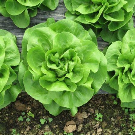 Seminte de salata Shangore F1 - 5.000 semințe [0]