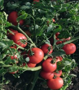 Seminte tomate Sultan F1-5 gr 0