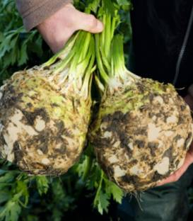 Țelina Elena F1-10.000 semințe drajate si pregerminate 0