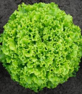 Salata Sementel - 5.000 seminte drajate