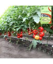 Seminte de tomateJastis F1, nedeterminate (500 seminte)