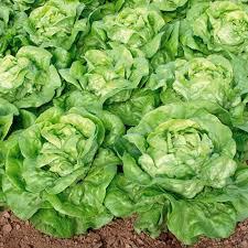 Semințe de salată Lobela