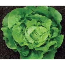Semințe de salată LOBELA2