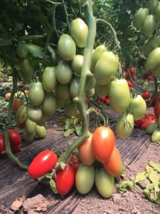 Seminte de tomate Bacalar F1, tip prunisoara (500 seminte)