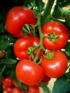 Seminte de tomateBostina F1 (500 semințe)