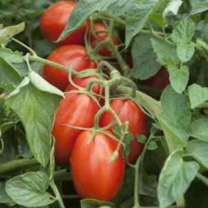 Seminte de tomate Firmus F1, tip prunisoara (2500 semințe)