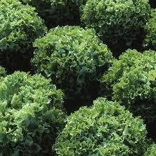 Seminte de salata Fristina-5g