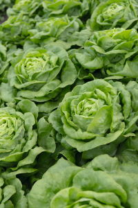 Semințe de salată Sotalis - Bejo (5000 semințe) [1]