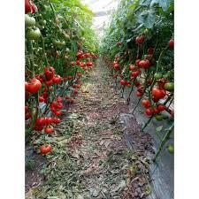 Seminte de tomate Rila F1, nedeterminate0
