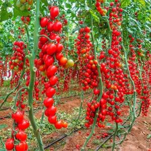 Seminte de tomate Landolino F1 (500 semințe)