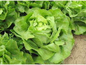 Salata Laruna - 5000 semințe