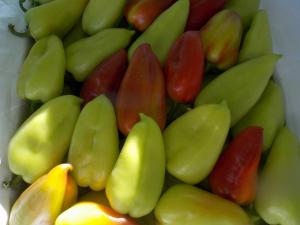 Seminte de ardei gras Lotta F1 (500 seminte)1