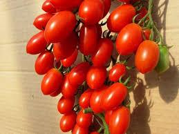 Seminte de tomate tip prunisoare Lucinda F1 (100 seminte)0
