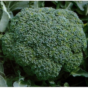 Semințe de broccoli Lucky F1 - 1.000 semințe [1]