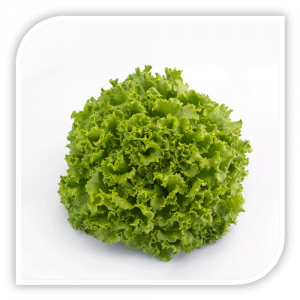 Seminte de salata Oleole F1 - 5.000 semințe drajate