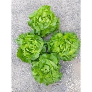 Semințe de salată Orelian F1 (5000 semințe drajate)