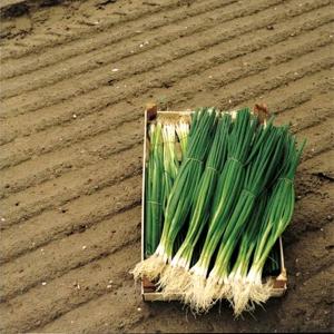 Semințe de ceapă Parade - 10.000 semințe0