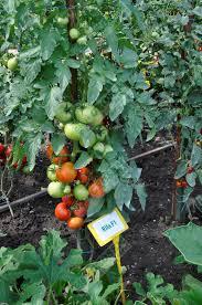 Seminte de tomate Rila F1, nedeterminate1