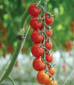 Seminte de tomate Sakura F1, tip cherry (250 semințe)