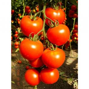 Seminte de tomateBrillante F1, nedeterminate (500 seminte)