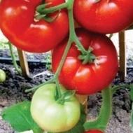 Seminte de tomate Ismini F1, nedeterminate (500 seminte)1