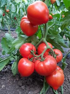 Seminte de tomatePekonet F1 (500 semințe)