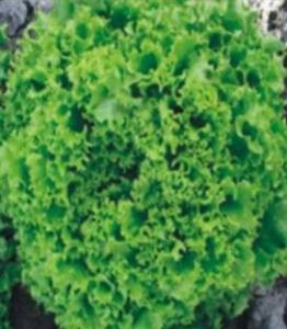 Salata Model -5.000 seminte drajate