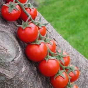 Seminte de tomate cherry Shiren F1 (100 semințe)