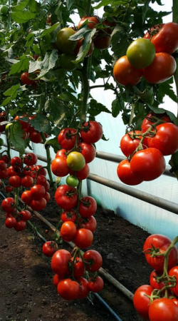 Seminte de tomate Alamina F1 [0]