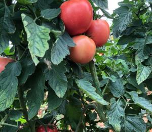 Seminte de tomatePerugino F1 (E15B.50756), nedeterminate (500 seminte)