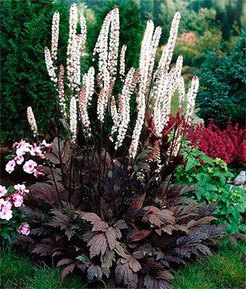 Actaea simplex Black Negligee 0