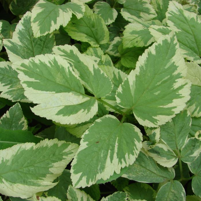 Aegopodium podagraria-Variegatum 0