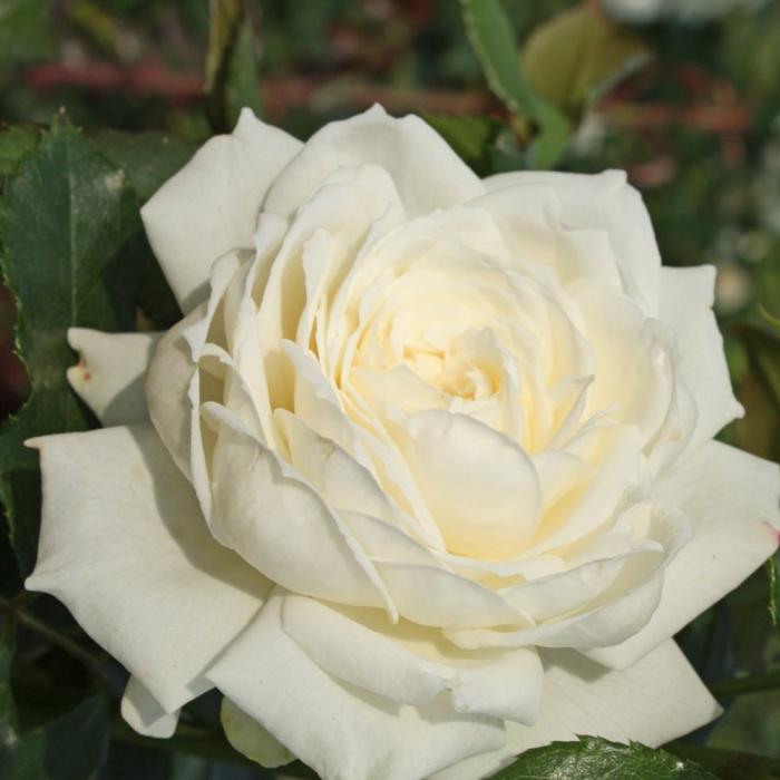 Trandafir Alaska® [0]