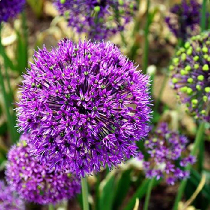 Allium giganteum 1