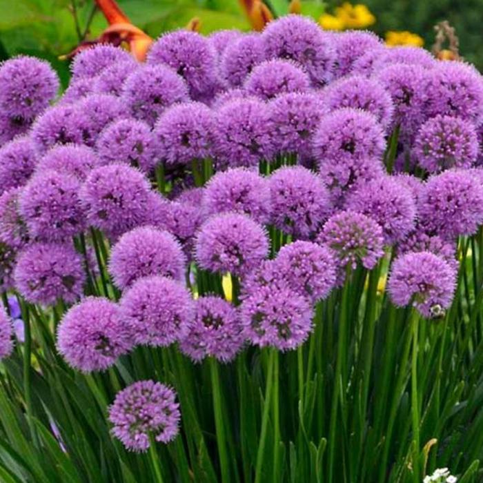 Allium hybrid.-Millenium [0]