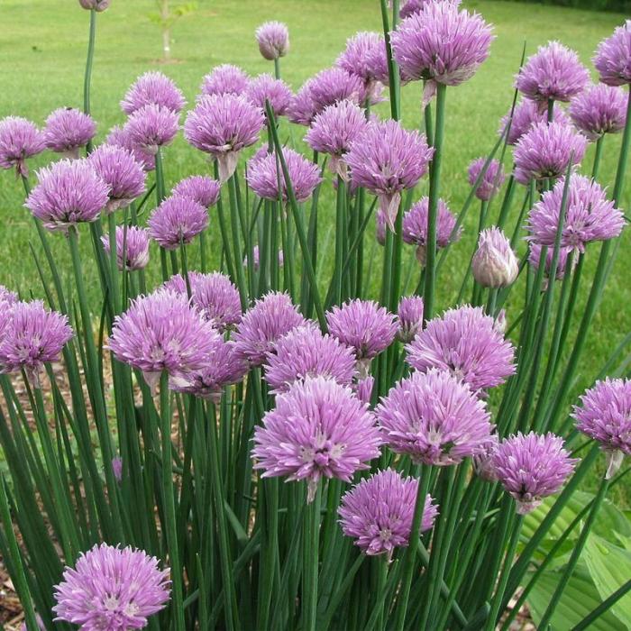 Allium schoenoprasum 1